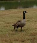 goose wing